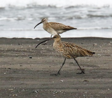 Far Eastern Curlew and Whimbrel