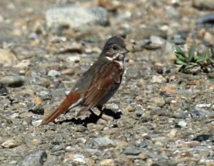 Fox Sparrow (2) - Copy