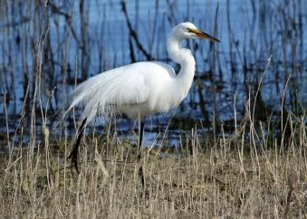 Great Egret1
