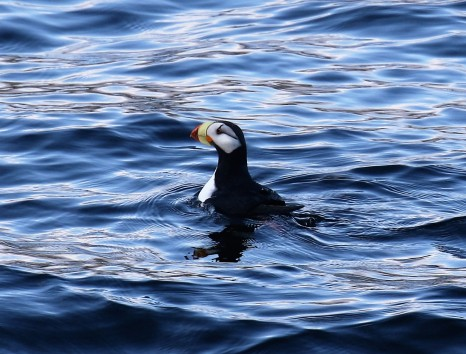 Horned Puffin1