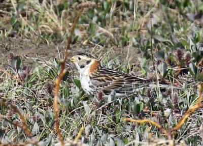 Lapland Longspur Female