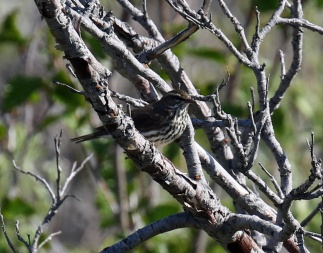Northern Waterthrush1