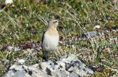Northern Wheatear female
