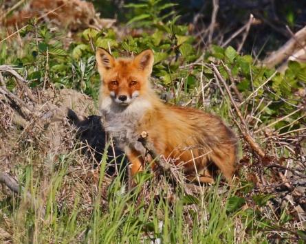 Red Fox1