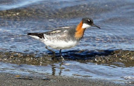 Red Necked Phalarope1 (1) - Copy