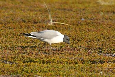 Sabine's Gull Ground