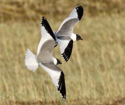Sabine's Gulls