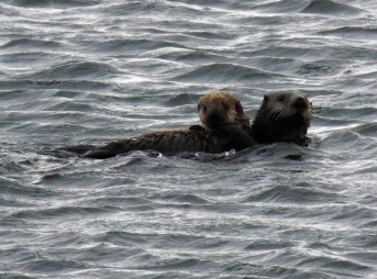 Sea Otter with Pup1