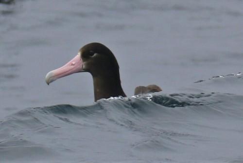 Short Tailed Albatross Head