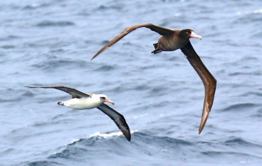 Short Tailed and Laysan Albatrosses