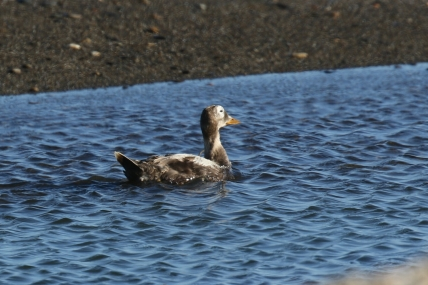 Spectacle Eider