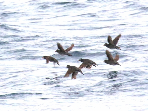 Whiskered Auklets1