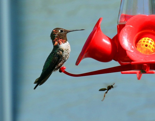 Anna's Hummingbird with Wasp