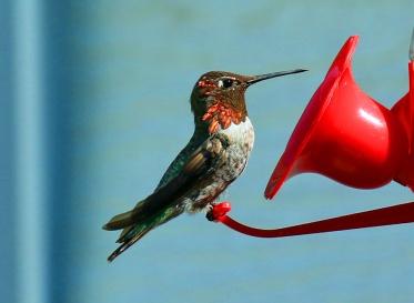 Anna's Hummingbird3