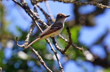 Ash Throated Flycatcher1