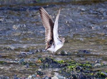 Baird's Sandpiper Wings