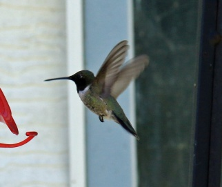 Black Chinned Male Flight