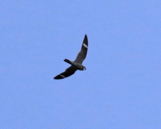 Common Nighthawk3