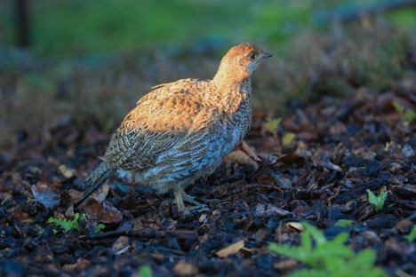 Dusky Grouse Chick