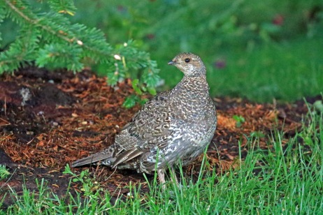 Dusky Grouse Hen