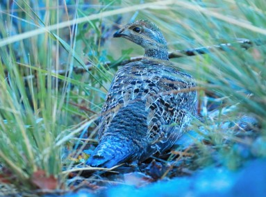 Dusky Grouse Hen2