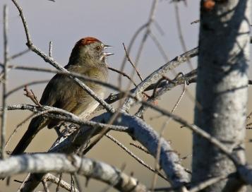 Green Tailed Towhee Singing