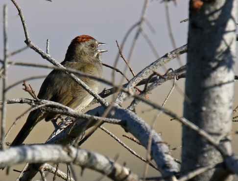 Green Tailed Towhee Singing