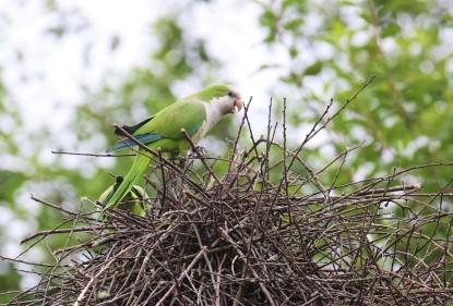 Monk Parakeets on Nest