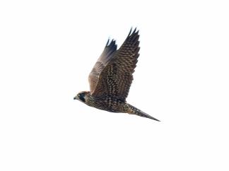 Peregrine Falcon at Eide Road