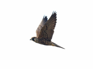 Peregrine Falcon at Eide Road