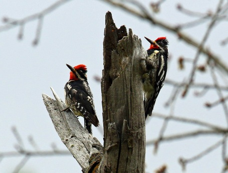 Red Naped Sapsuckers