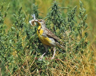 Western Meadowlark with Bug