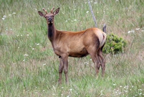 Young Elk Buck
