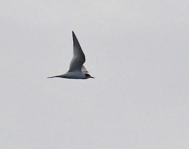 Arctic Tern2