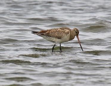 Bar Tailed Godwit2