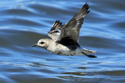 Black Bellied Plover Flight