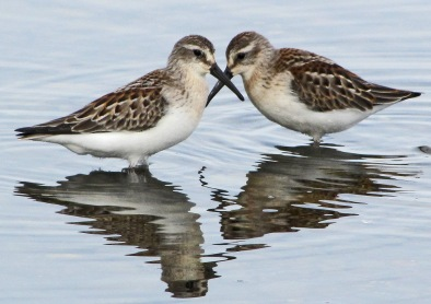Dueling Western Sandpipers