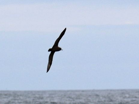 Flesh Footed Shearwater3