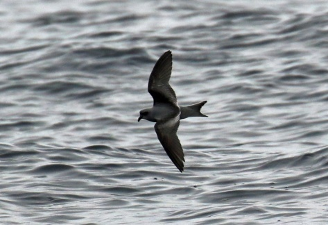 Fork Tailed Storm Petrel2