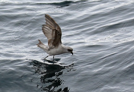 Fork Tailed Storm Petrel4