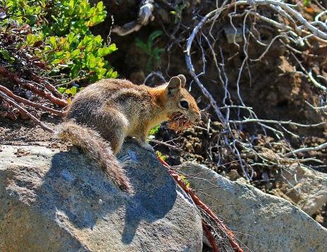 Ground Squirrel with Cache