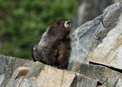 Hoary Marmot2