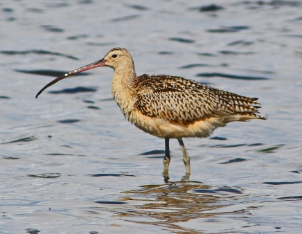 Long Billed Curlew 2 Bottle Beach