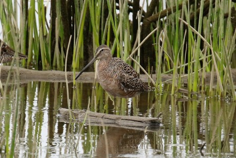 Long Billed Dowitcher1