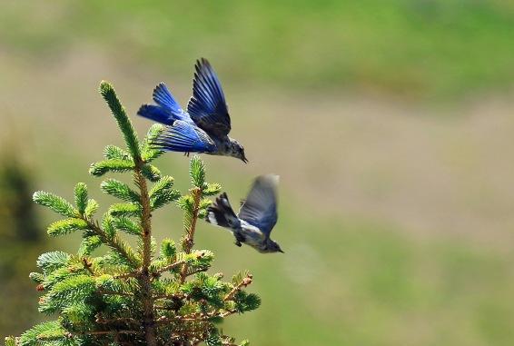 Mountain Bluebird and Yellow Rumped Warbler