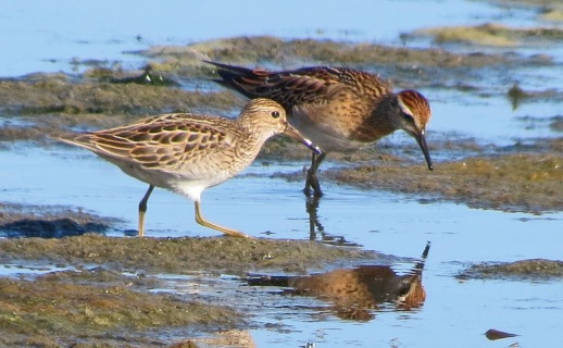 Pectoral and Sharp Tailed Sandpipers