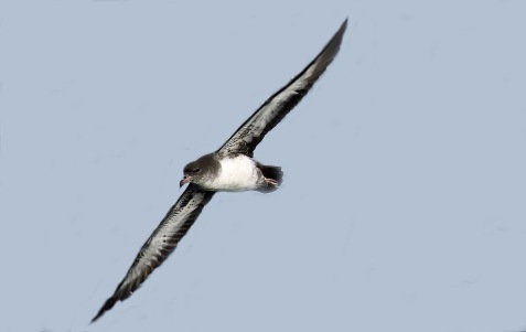 Pink Footed Shearwater2r