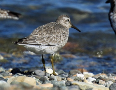 Red Knot 1