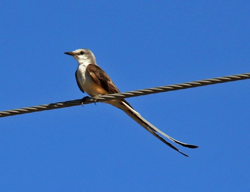 Scissor Tailed Flycatcher2