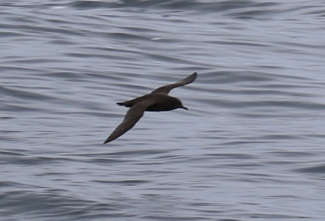 Short Tailed Shearwater3